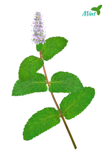 sprigs of fresh mint in realistic style. vector - twig stock illustrations, clip art, cartoons, & icons