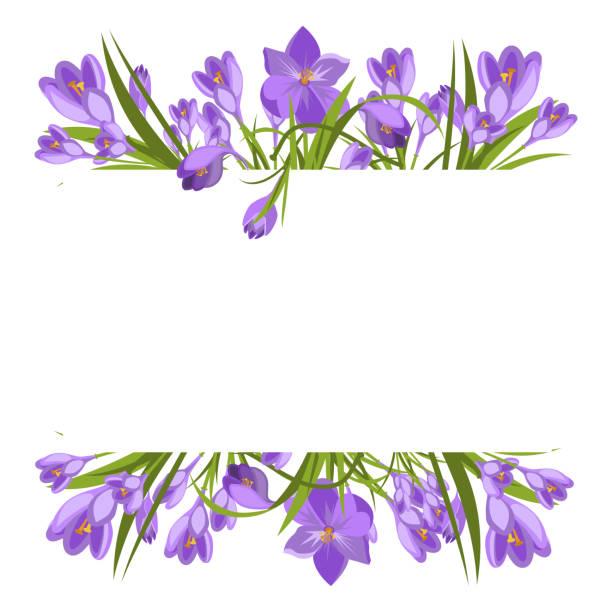 illustrations, cliparts, dessins animés et icônes de printemps des crocus violettes magnifiques sur blanc. - crocus