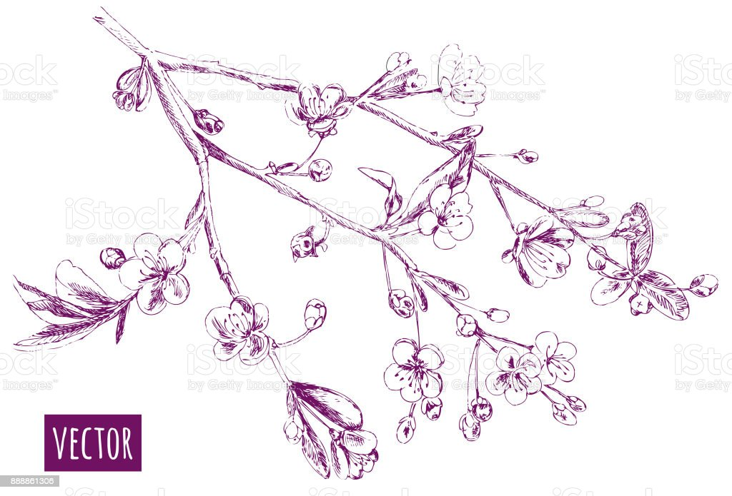 Spring blossom (bloom), branch with cherry flowers, hand draw sketch, outline on white background, vector illustration, vintage vector art illustration