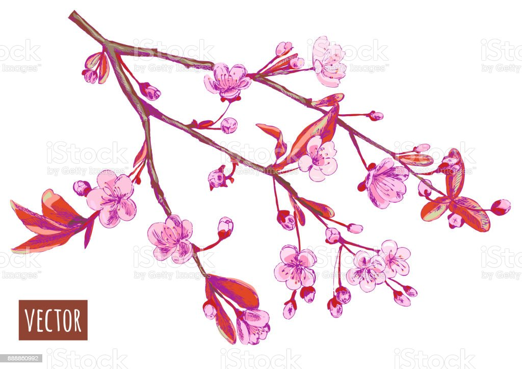 Spring blossom (bloom), branch with pink flowers (cherry, plum, almonds), hand draw sketch, on white background, vector illustration, vintage vector art illustration