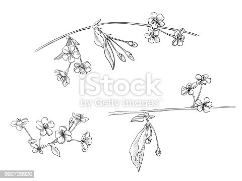 Spring blossom (bloom), set of branches with cherry flowers, buds, leaves, hand draw sketch in engraving vintage style, outline on white background, vector illustration