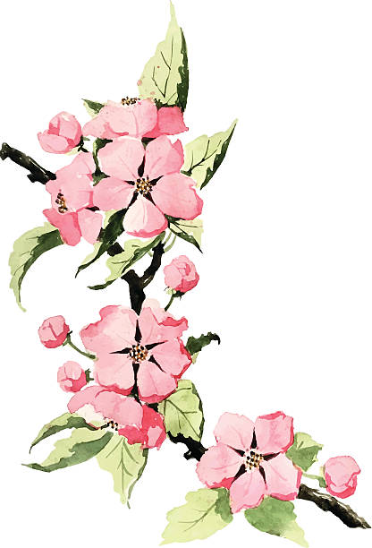 Spring blossom Traced watercolor drawing of spring blossom. apple blossom stock illustrations