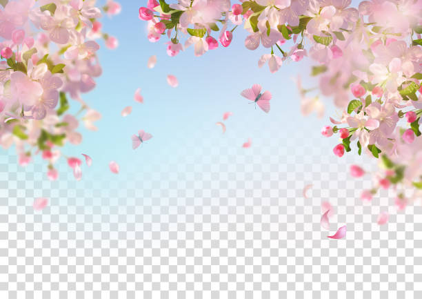 Spring Cherry Blossom Vector background with spring cherry blossom. Sakura branch in springtime with falling petals and partially transparent background spring stock illustrations