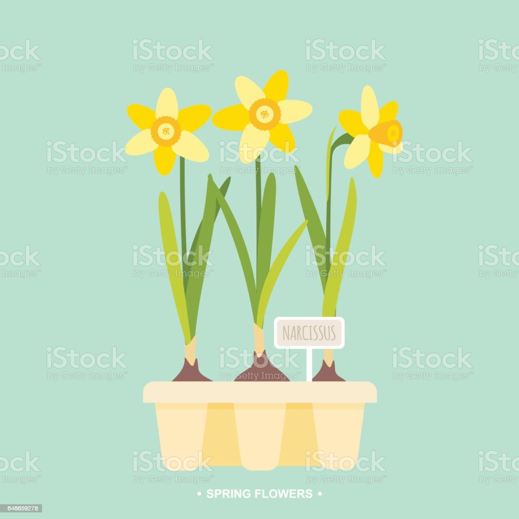 Spring daffodil bulbs vector illustration vector art illustration
