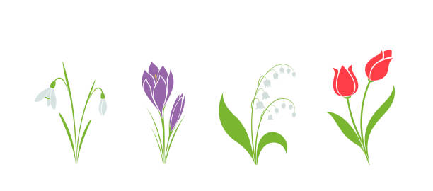 spring flower set. hand drawn crocus, snowdrop, tulip and lily of the valley spring flower set. hand drawn crocus, snowdrop, tulip and lily of the valley isolated vector image. flower design element. lily of the valley stock illustrations
