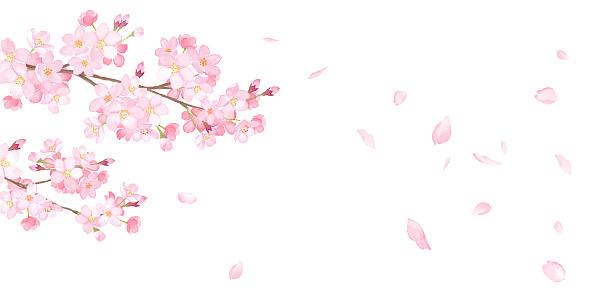 Flores de primavera: fondo de flores de cerezo y pétalos que caen. Vector de traza de ilustración de acuarela. El diseño se puede cambiar.