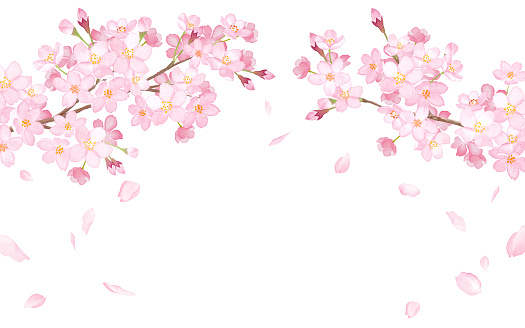 Spring flowers: cherry blossoms and falling petals arched frame watercolor illustration trace vector