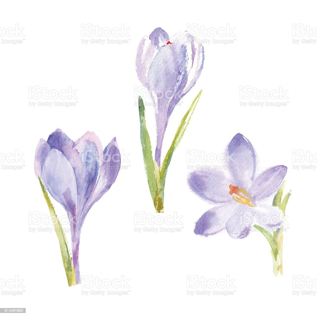 Spring flowers crocuses  isolated on white background. Vector, watercolor illustration.
