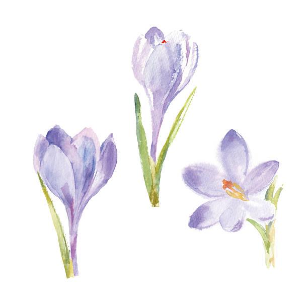 illustrations, cliparts, dessins animés et icônes de fleurs de printemps crocus seul sur fond blanc. vecteur, de l'aquarelle illustration. - crocus
