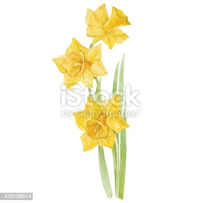 istock Spring flowers narcissus isolated on white background. Vector, watercolor  illustration. 470109014