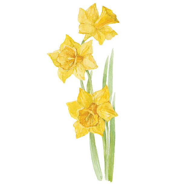 Spring flowers narcissus isolated on white background. Vector, watercolor  illustration. Watercolor illustration of narcissus, design element. daffodil stock illustrations