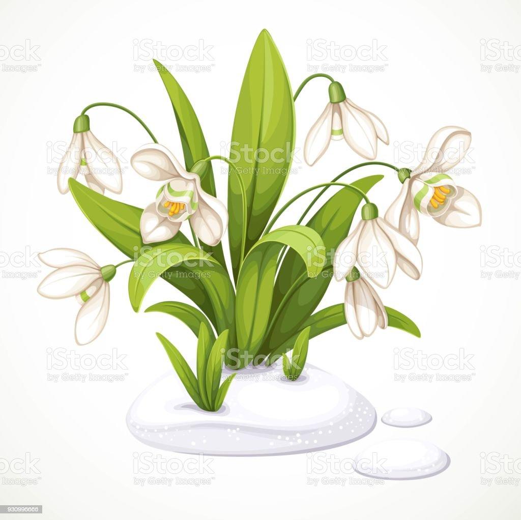 Fruhlingsblumen Von Schneeglockchen Sind Aus Dem Schnee Isoliert Auf
