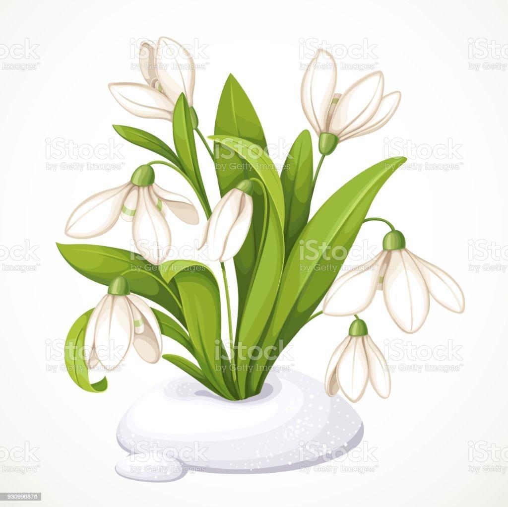 Fruhlingsblumen Von Schneeglockchen Auf Grunen Stangel Sind Aus Dem