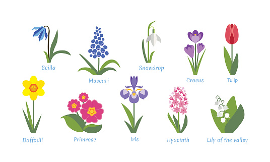 Spring flowers set. Crocus, tulip, hyacinth, lily of the valley, muscari,  scilla, snowdrop, narcissus, primrose and iris isolated on white background. Vector illustration, icon in flat simple style.