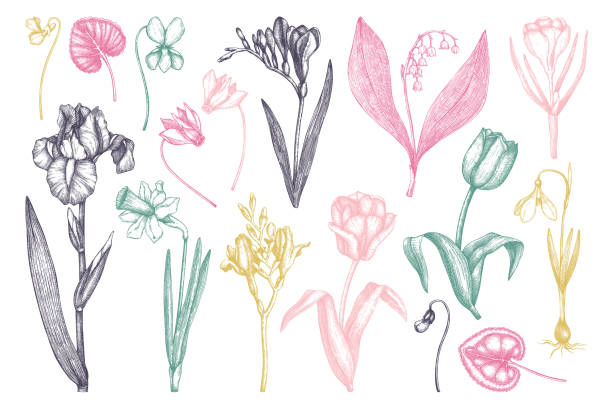 frühlingsblumen gesetzt - alpenveilchen stock-grafiken, -clipart, -cartoons und -symbole