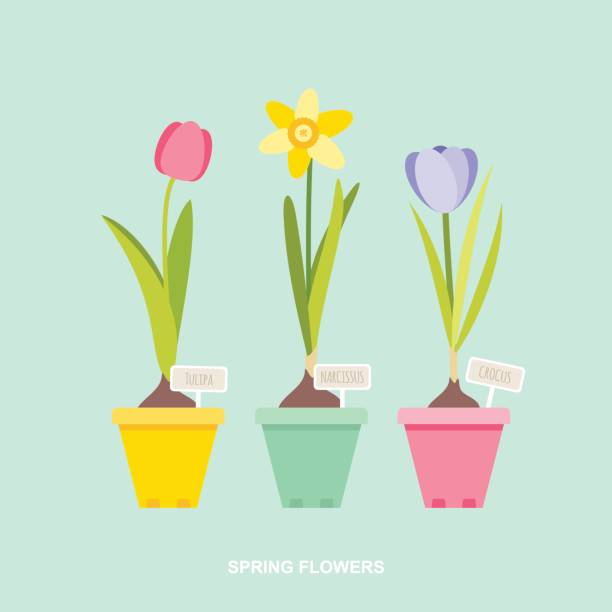 Spring flowers tulip daffodil crocus in flower pots Vector illustration of spring flower bulbs, tulip, daffodil, crocus in flower pots with botanical signs. daffodil stock illustrations