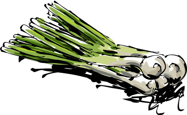 Spring Onion Drawing drawing of Spring Onion, Elements are grouped.contains eps10 and high resolution jpeg. scallion stock illustrations