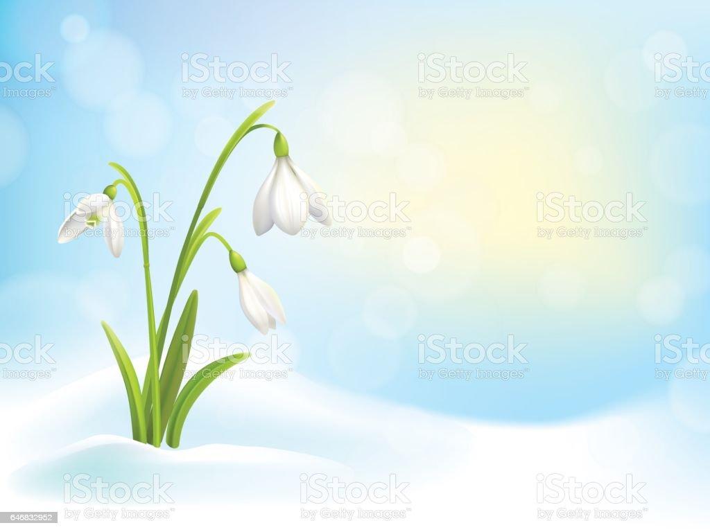 Schneeglockchen Fruhlingsblumen Mit Schnee Auf Hintergrund Mit