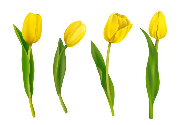 bildbanksillustrationer, clip art samt tecknat material och ikoner med våren gula tulpaner isolerad på vit bakgrund. - tulpaner