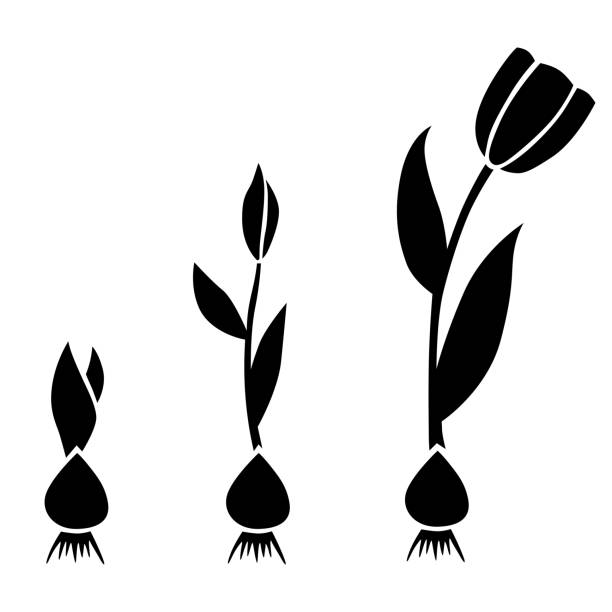 Sprouts tulips set with bulbs Vector illustrations of sprouts tulips set with bulbs plant bulb stock illustrations