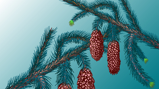 Spruce cones on the branches Close-up.