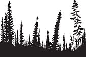 Silhouettes of fir-trees in a coniferous forest