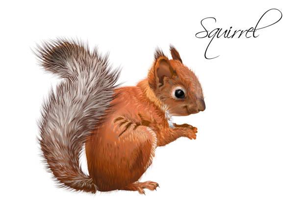 illustrations, cliparts, dessins animés et icônes de écureuil illustration réaliste - écureui