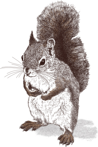 Squirrel vector illustration. Additional EPS file contains the same image with lines in stroke form, allowing you to convert to a brush of your choosing. Colors are layered and grouped separately. Easily editable.