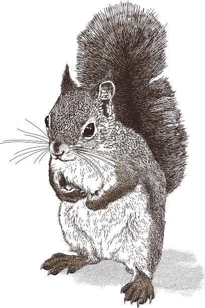 illustrations, cliparts, dessins animés et icônes de écureuil - écureui