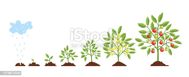 istock Stage growth plant. Growth stages from seed to flowering and fruiting plant with ripe red tomatoes. Staged growth of tomato plants 1279874040