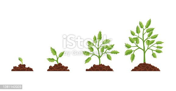 istock Stage growth plant. Growth stages from seed to flowering and fruiting plant with ripe red tomatoes. Staged growth of tomato plants 1281142023