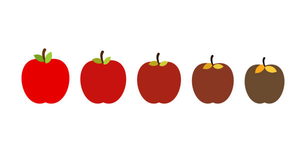 stage of rotting apple. beautiful red fresh fruit and old rotten fruits. - rotten apple stock illustrations, clip art, cartoons, & icons