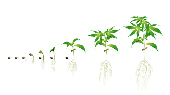Stages of cannabis seed germination from seed to sprout, the growing season of cannabis, marijuana phases set, realistic illustration isolated on a white background for printing