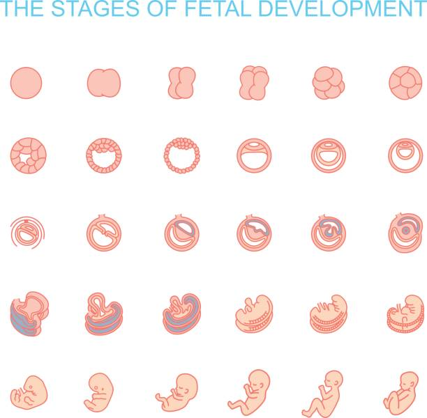 stages of fetal development vector illustration stages of fetal development. isolated on white background. Pregnancy. Fetal growth from fertilization to birth, fetus development. Embryo development. human blastocyst stock illustrations