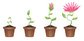 Vector image of four stages of growth of beautiful pink flower (chrysanthemum) in a brown pot on a white background. Plant growing stages. Flower life cycle. Timeline infographic. Vector illustration.