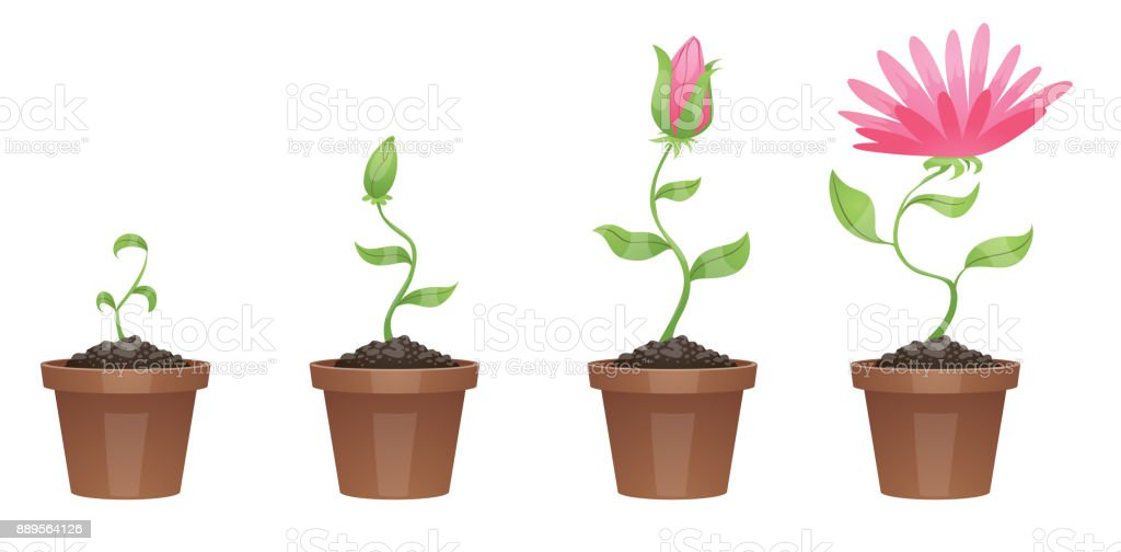 Stages of growth, beautiful pink flower (chrysanthemum) vector art illustration