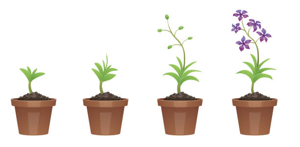 Stages of growth, beautiful purple flower (scilla) Vector image of four stages of growth of a beautiful purple flower (scilla) in a brown pot on a white background. Plant growing stages. Flower life cycle. Timeline infographic. Vector illustration. calabria stock illustrations