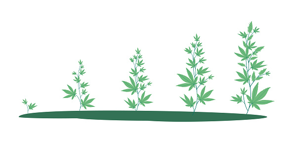 Stages of marijuana growth from a small sprout to ripening buds. Growing cannabis outdoors. Vector illustration in a flat style,  isolated on white.Medical marijuana and recreational drugs, 4.20