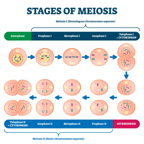 Stages of meiosis vector illustration. Labeled cell division process scheme vector art illustration