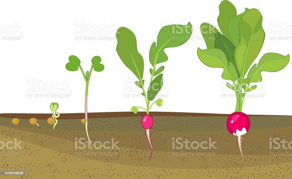 stades de croissance de radis de graine et de la germination la r colte plantes pr sentant la. Black Bedroom Furniture Sets. Home Design Ideas