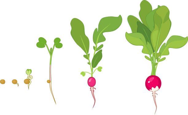 Stages of radish growth from seed and sprout to harvest Stages of radish growth from seed and sprout to harvest radish stock illustrations