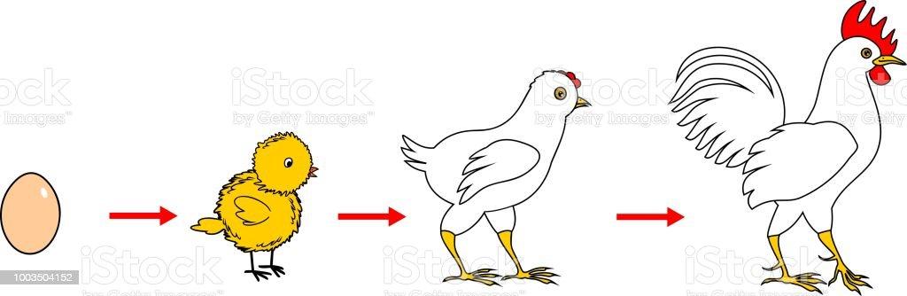 Ilustración de Etapas De Crecimiento Del Gallo De Huevo A Pájaro ...