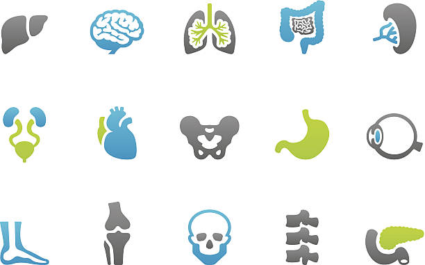 Stampico icons - Anatomy 81 set of the Stampico collection - Human Internal Organ icons. respiratory tract stock illustrations