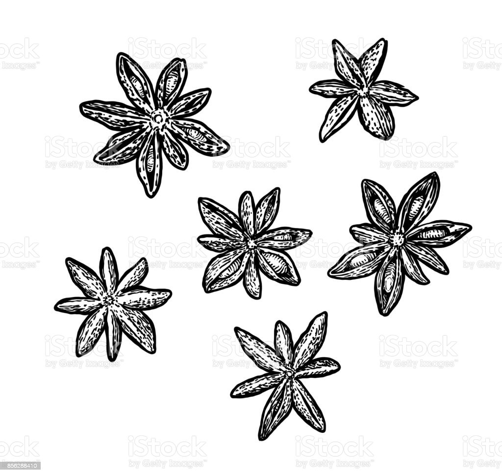 Star anise illustration, drawing, engraving, ink, line art, vector vector art illustration