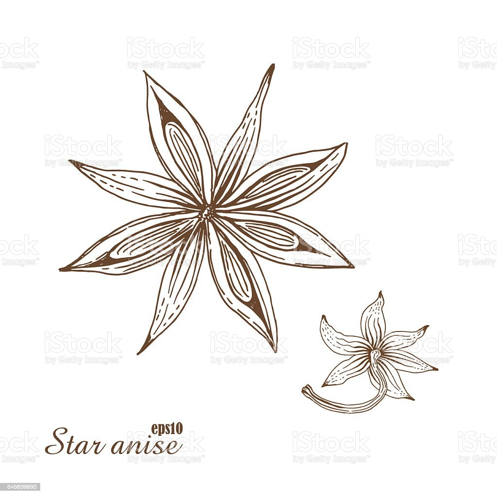 Star anise. Vector botanical illustration in woodcut style. vector art illustration