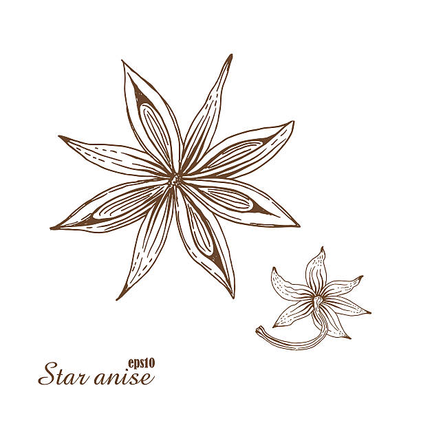 Star anise. Vector botanical illustration in woodcut style. Star anise. Vector botanical illustration in woodcut style. Spices. The isolated vintage image on white background. Hand-drawn sketch. star anise stock illustrations