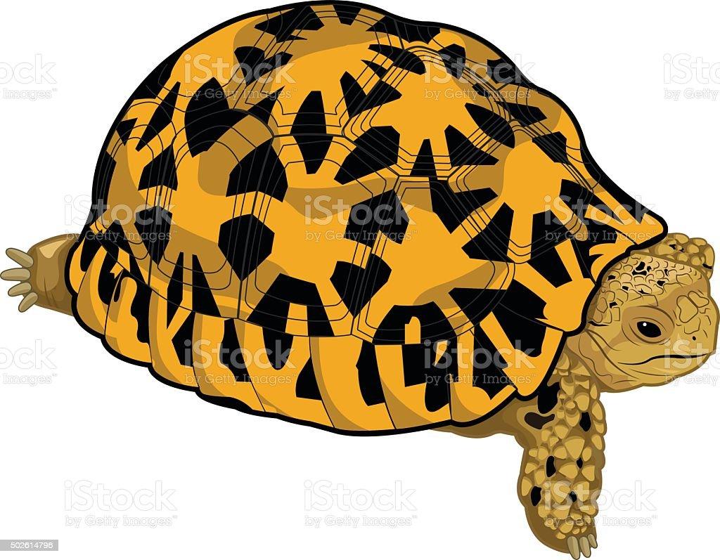 star tortoise vector art illustration