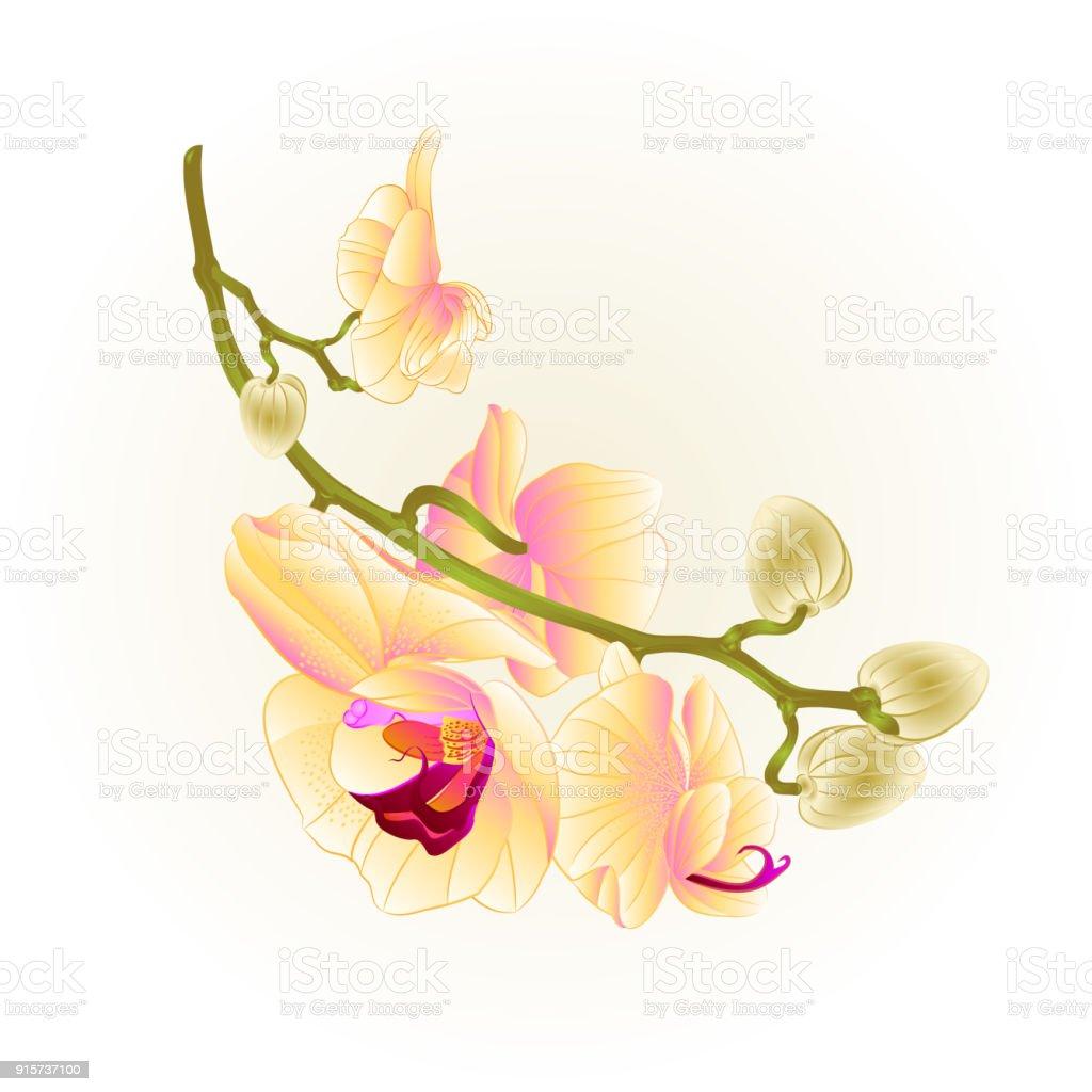 6c3aa0be1 Stem beautiful yellow Orchid Phalaenopsis vintage vector illustration  editable - Illustration .