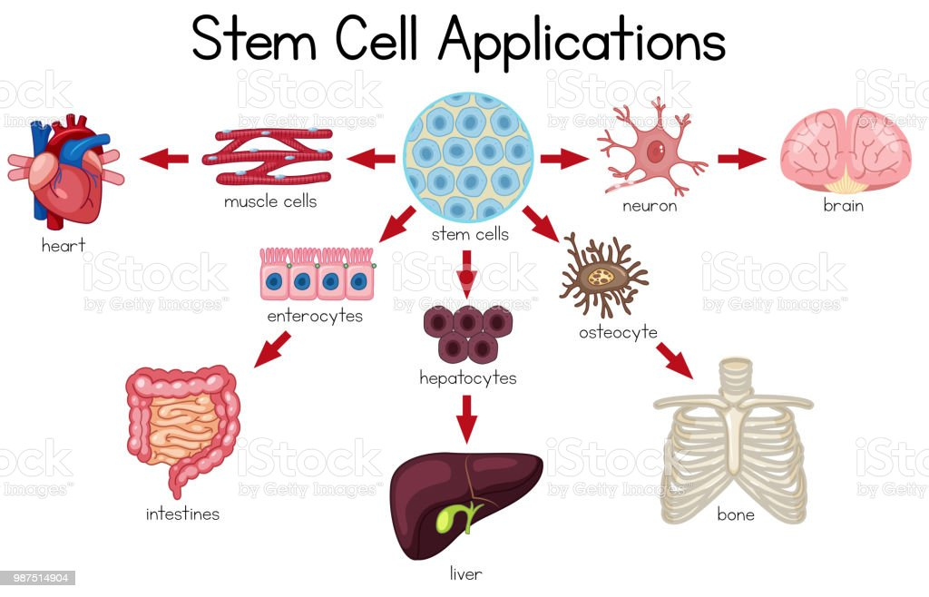 Stem Cell Applications Diagram Stock Vector Art & More Images of ...