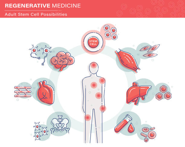 Stem Cell Infographics Vector illustration showing adult or somatic stem cell possibilities. biological cell stock illustrations